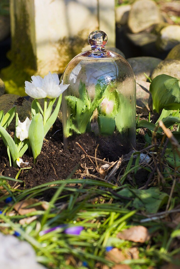 Tulips in a bed, some under a glass cloche