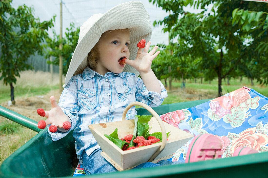 Little girl sitting in wheelbarrow eating raspberries stuck on her fingers