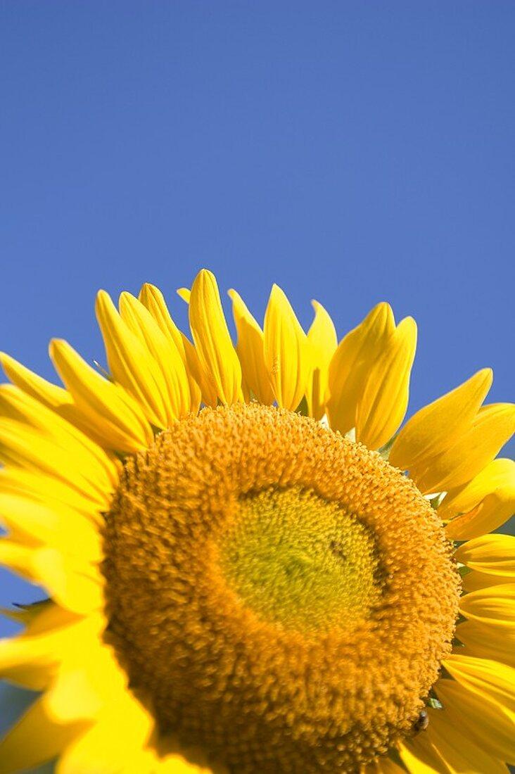 Sunflower Close Up Against a Blue Sky
