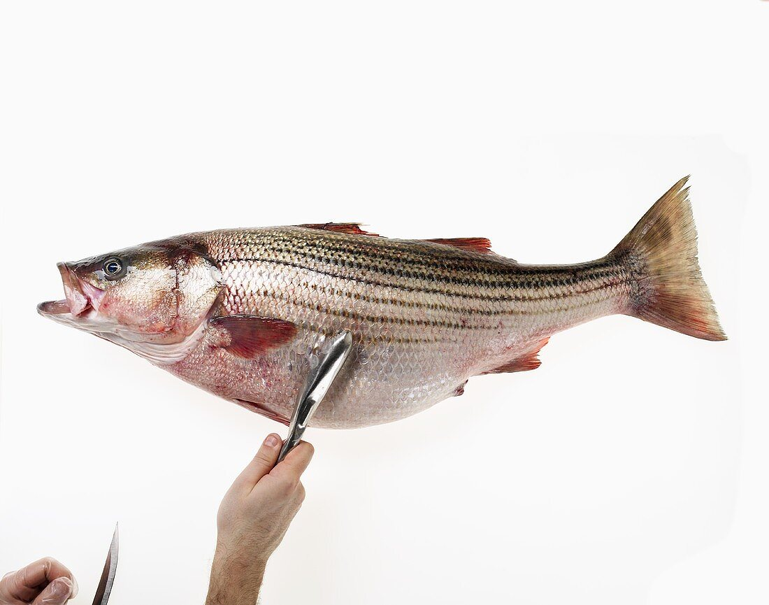 Scaling a Whole Uncooked Sea Bass