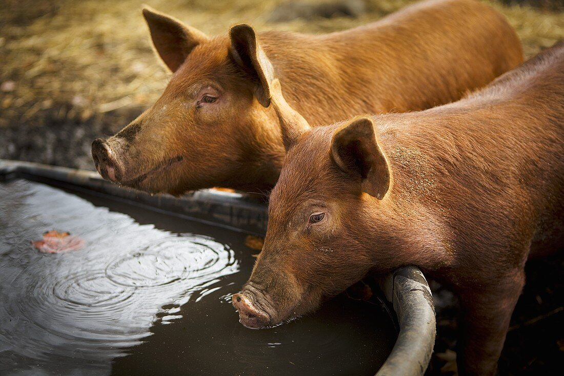 Pigs Drinking from a Trouth