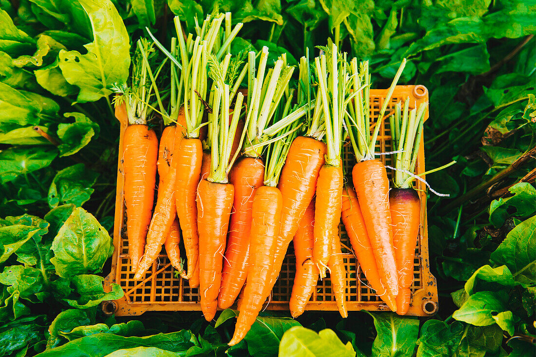 Crate of carrots in garden