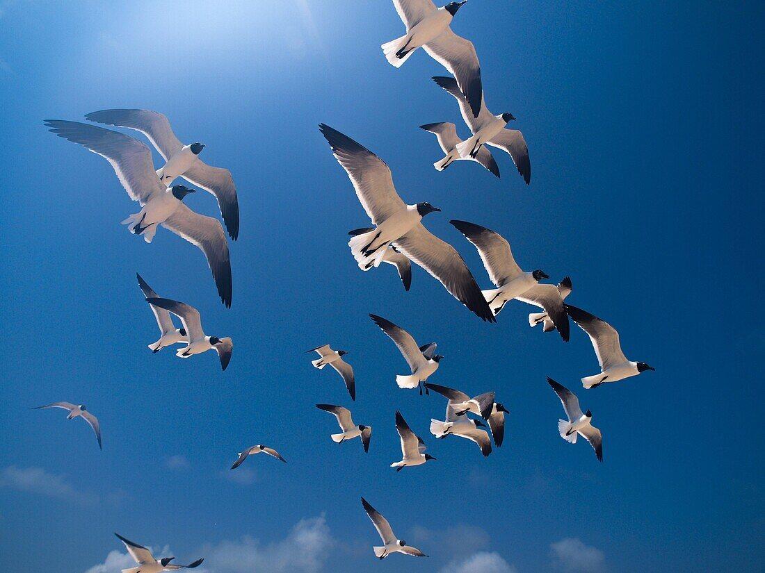 full Animal Themes Flying, Gulls Bonaparte 1 Animal Flying Gull Bonaparte in sky (Chroicocephalus philadelphia), South America archipiélago Los Roques Venezuela´