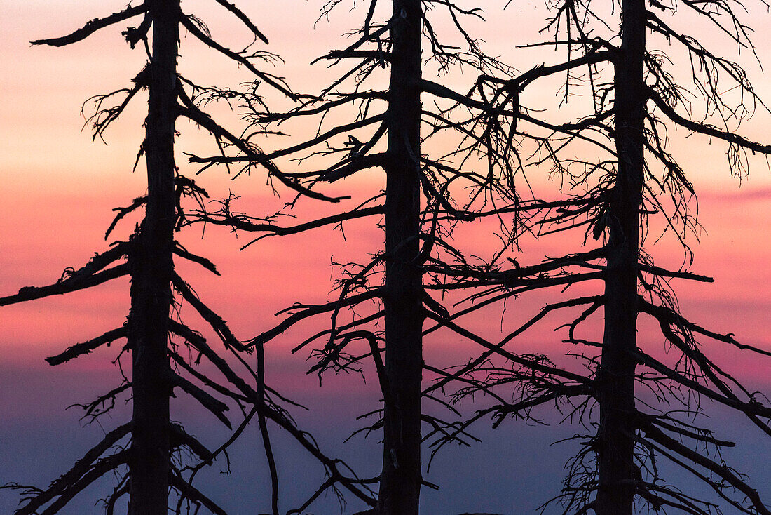 Harz, Saxony-Anhalt, mountain, climatic health resort winter, sports resort, recreation area, family vacation, hiking, landscape, sunset, dusk, pines, forest, bark beetle, deadwood, pest