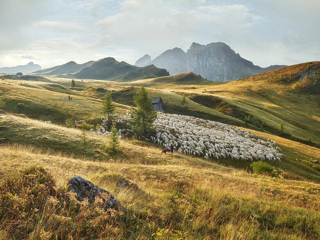 flock of sheep, shepherds, Passo di Giau, Veneto, Italy