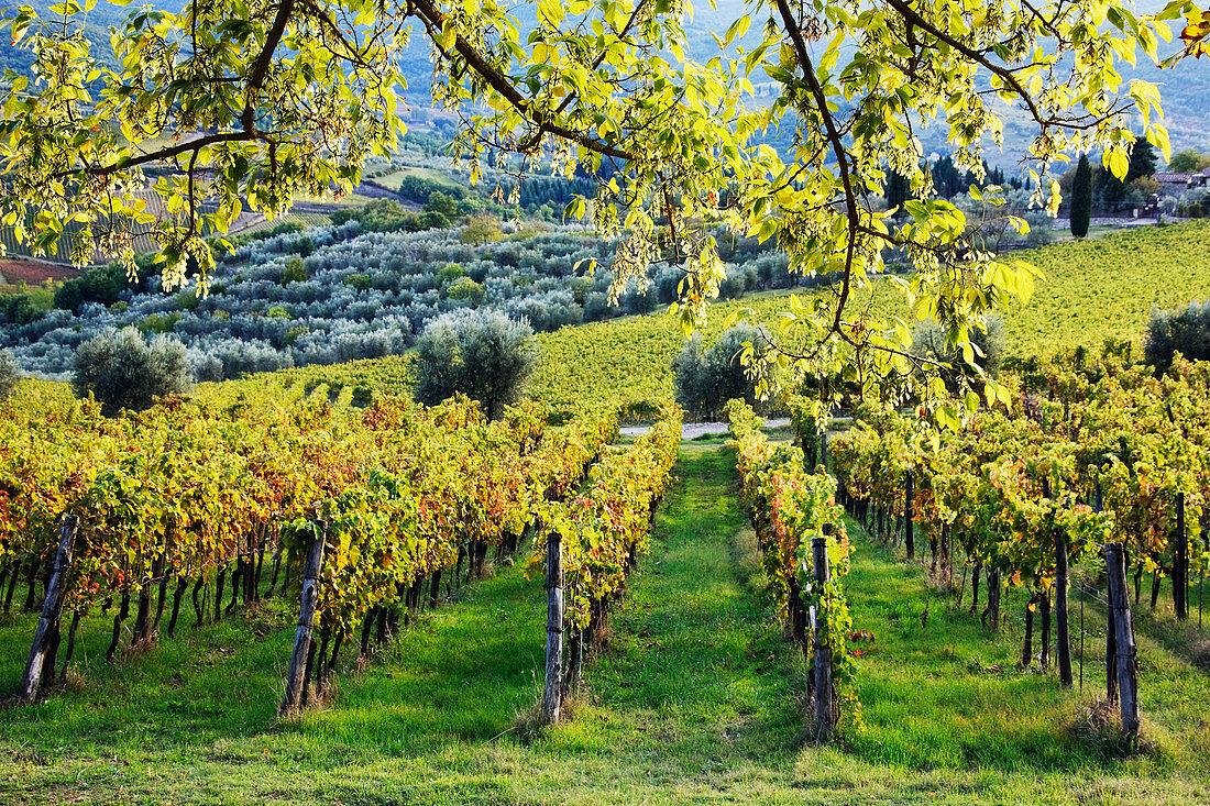 Vineyards and Olive Groves, Panzano, Tuscany, Italy