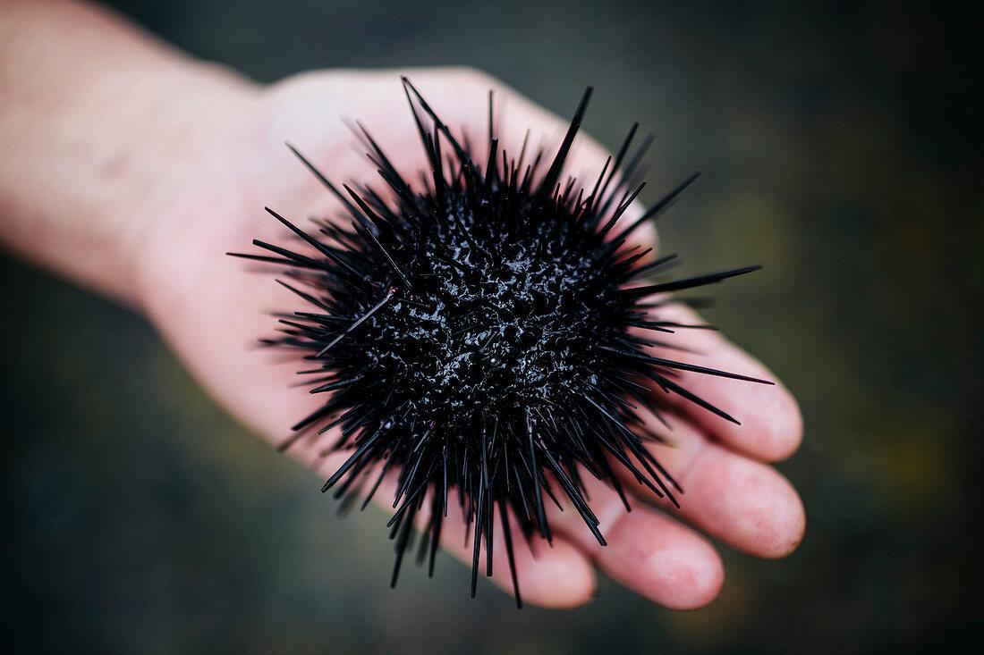 High angle close up of hand holding a fresh uni, sea urchin.