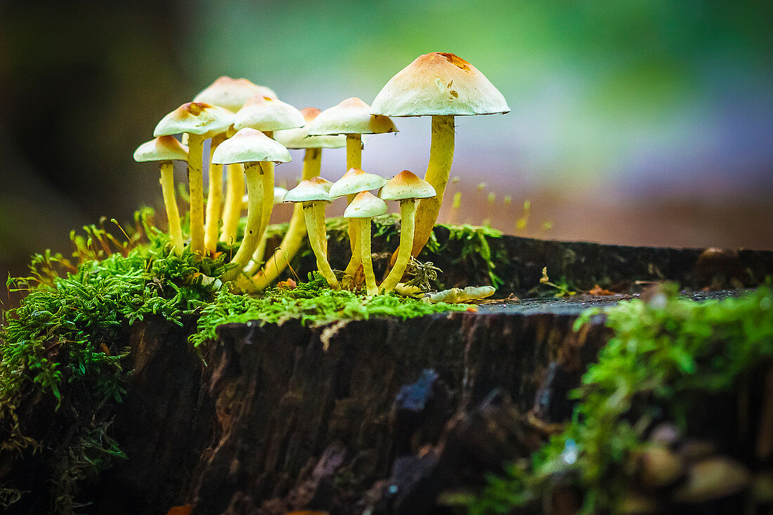 Close-up of a group of mushrooms, mushrooms in the Black Forest