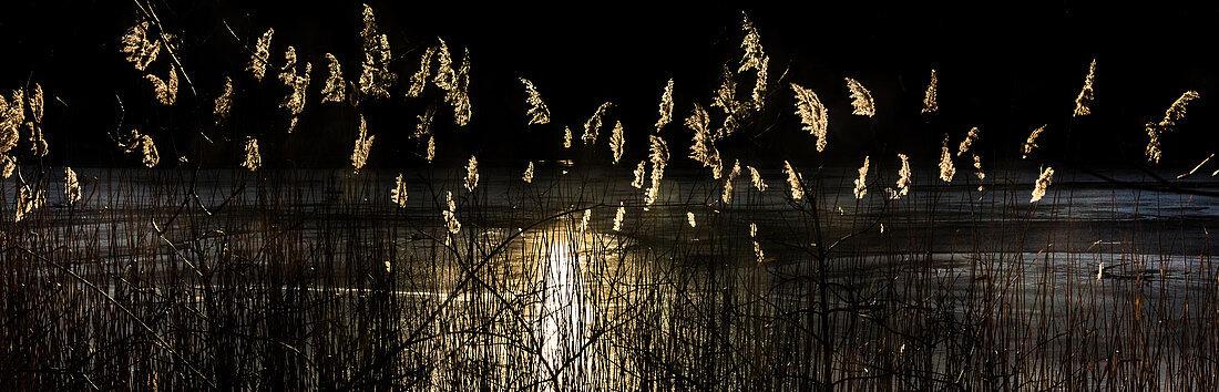 Schilf im Abendlicht an einem Fischweiher