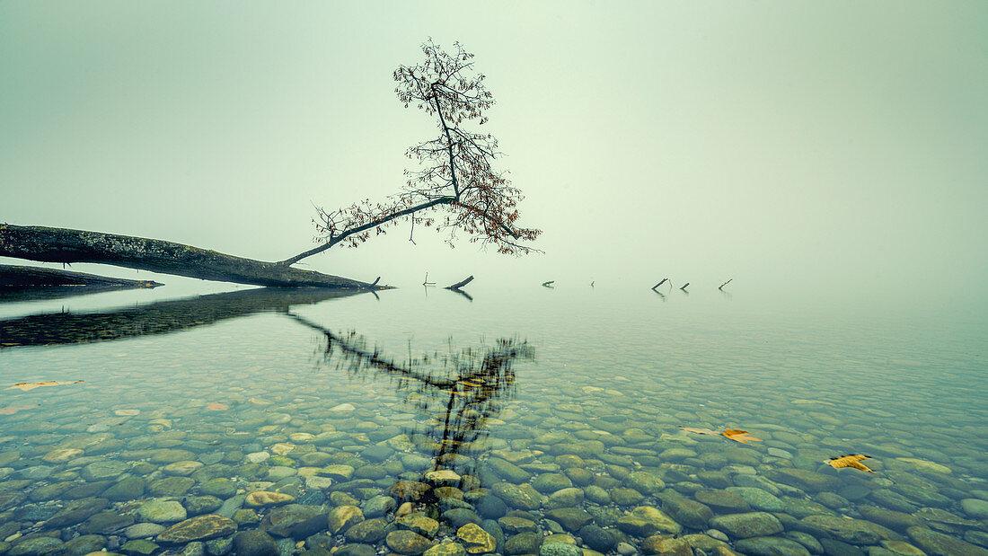 Umgefallener baum im Starnberger See, Bayern Deutschland