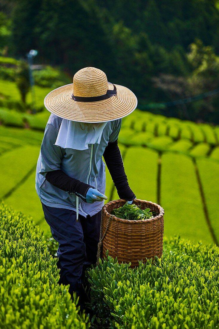 Japan, Honshu, Shizuoka, tea fields, tea picking