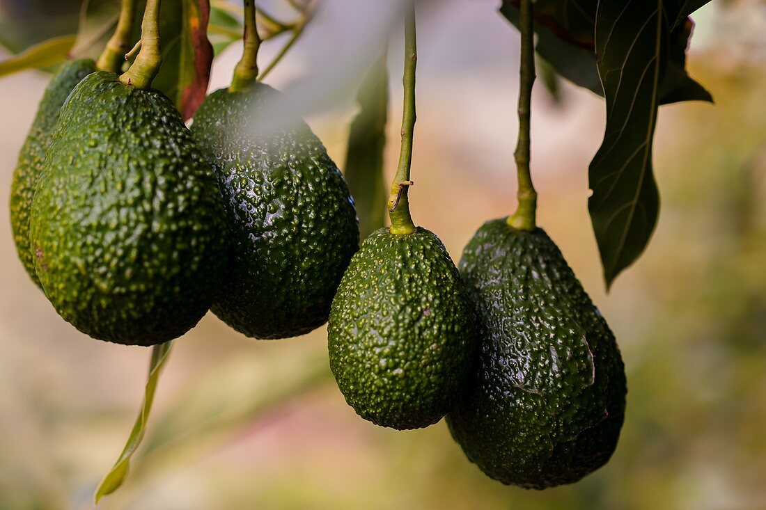 Avocados are seen growing on a tree at a farm near Sonsón, Antioquia department, Colombia