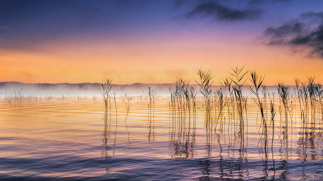 Reeds at sunrise on Lake Starnberg, Bernried, Deutschland, Deutschland