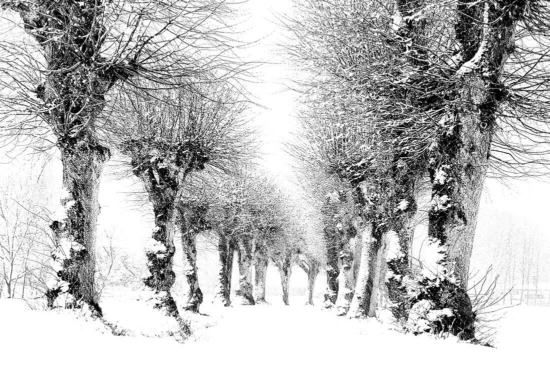 Snow-covered linden trees on an avenue, Tutzing, Germany