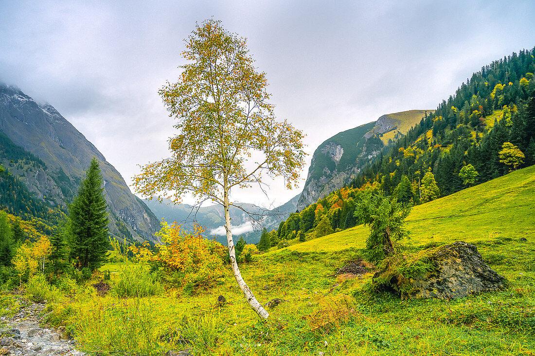 Birke in Herbstfärbung im Ahornboden, Eng, Karwendel, Bayern, Deutschland