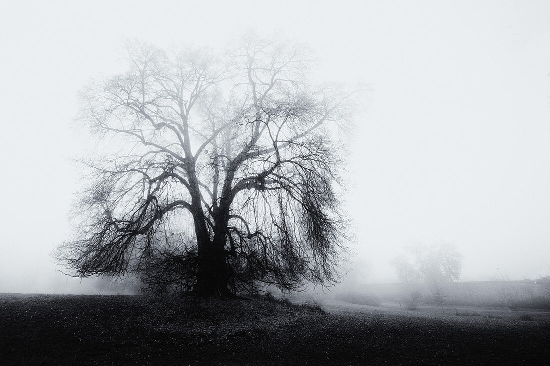 Big bare tree in the fog in the park, Bernried, Bavaria, Germany