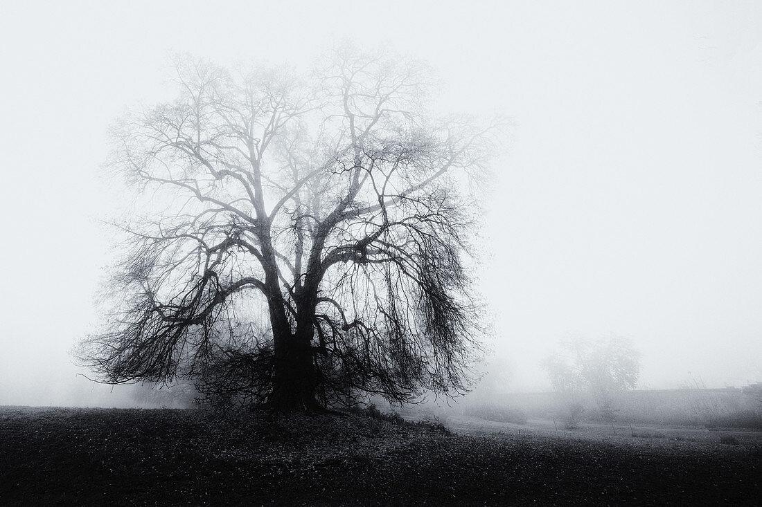Großer kahler Baum im Nebel im Park, Bernried, Bayern, Deutschland