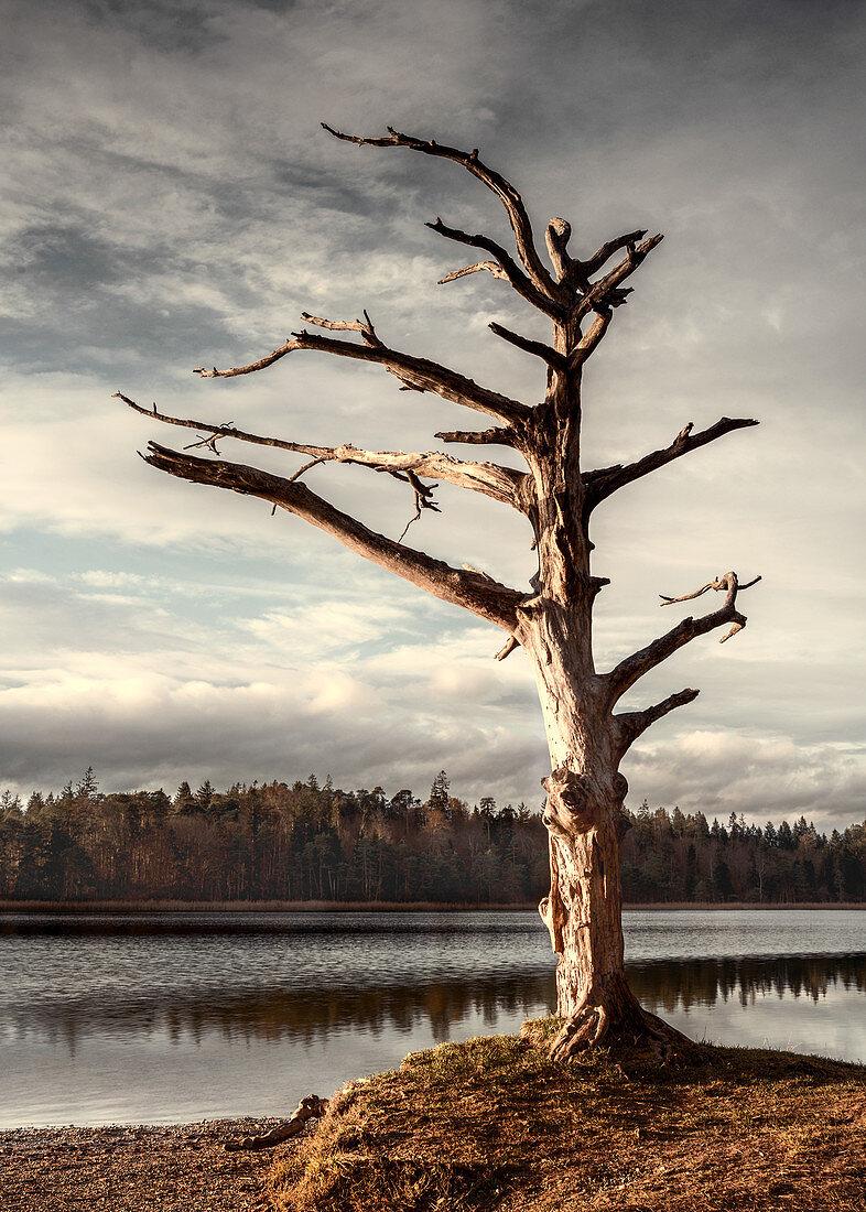 Kahler toter Baum am Ostersee, Bayern, Deutschland