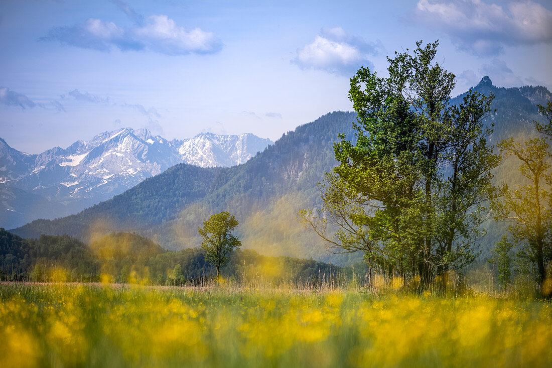 Trollblumen vor Bergen im Murnauer Moos, Murnau, Bayern, Deutschland