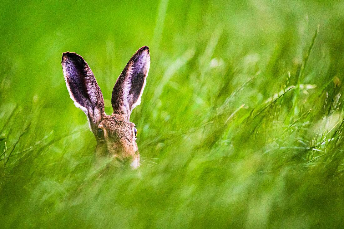 Feldhase im Gras, heimische Tierwelt, Deutschland, Europa