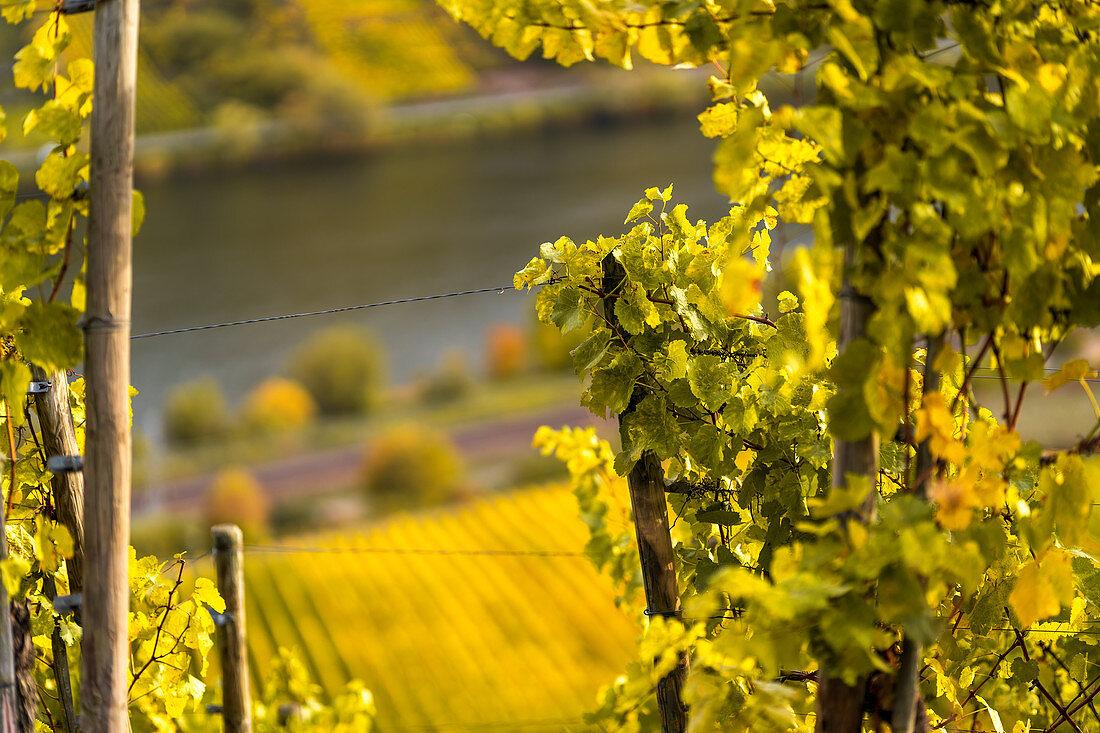 Weinlaub über der Mosel, Winningen, Rheinland-Pfalz, Deutschland