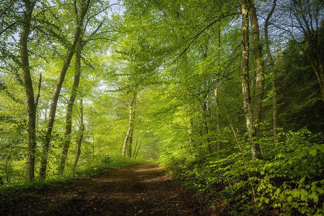 Wandern im Frühling im Buchenwald, Oberbayern, Bayern, Deutschland