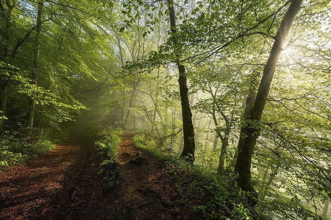 Sonnenbeschienener Buchenwald im Frühling, Wald bei Baierbrunn, Bayern, Deutschland