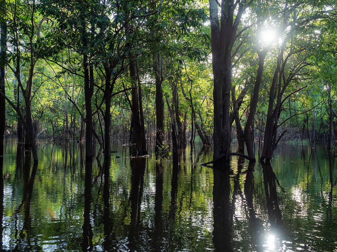 Regenwald am Amazonas bei Manaus, Amazonasbecken, Brasilien, Südamerika