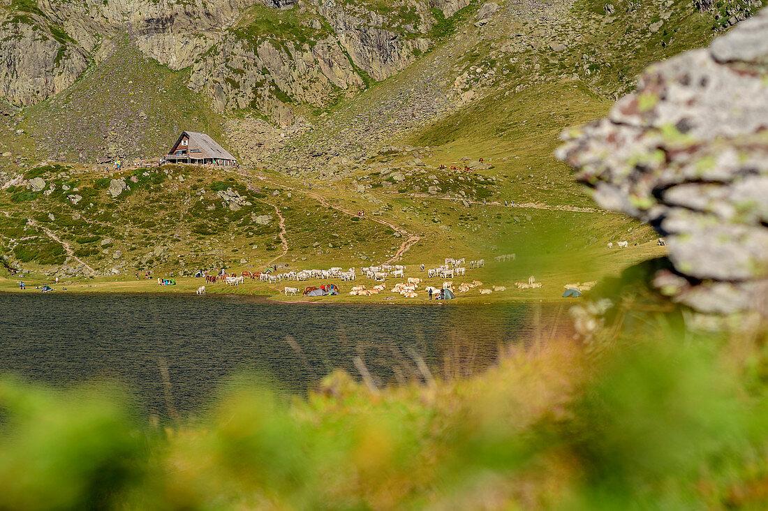 Blick auf Lac Gentau mit Zeltstadt und Tierherde, Refuge d´Ayous im Hintergrund, Lac Gentau, Nationalpark Pyrenäen, Pyrénées-Atlantiques, Pyrenäen, Frankreich