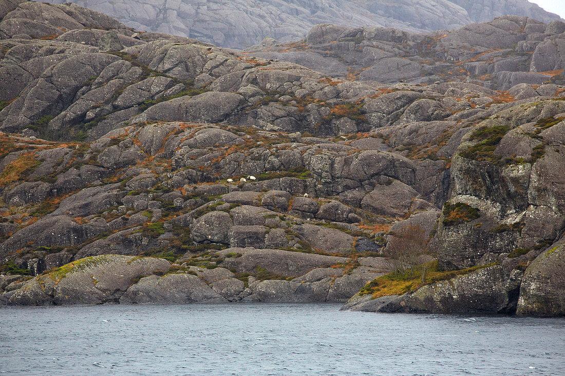 Schafe bei Dalöy auf der Insel Steinsundöy, Daloey, Steinsundoey, Ytre Steinsundet, Soer Norge, Sogn og Fjordane, Norwegen, Europa