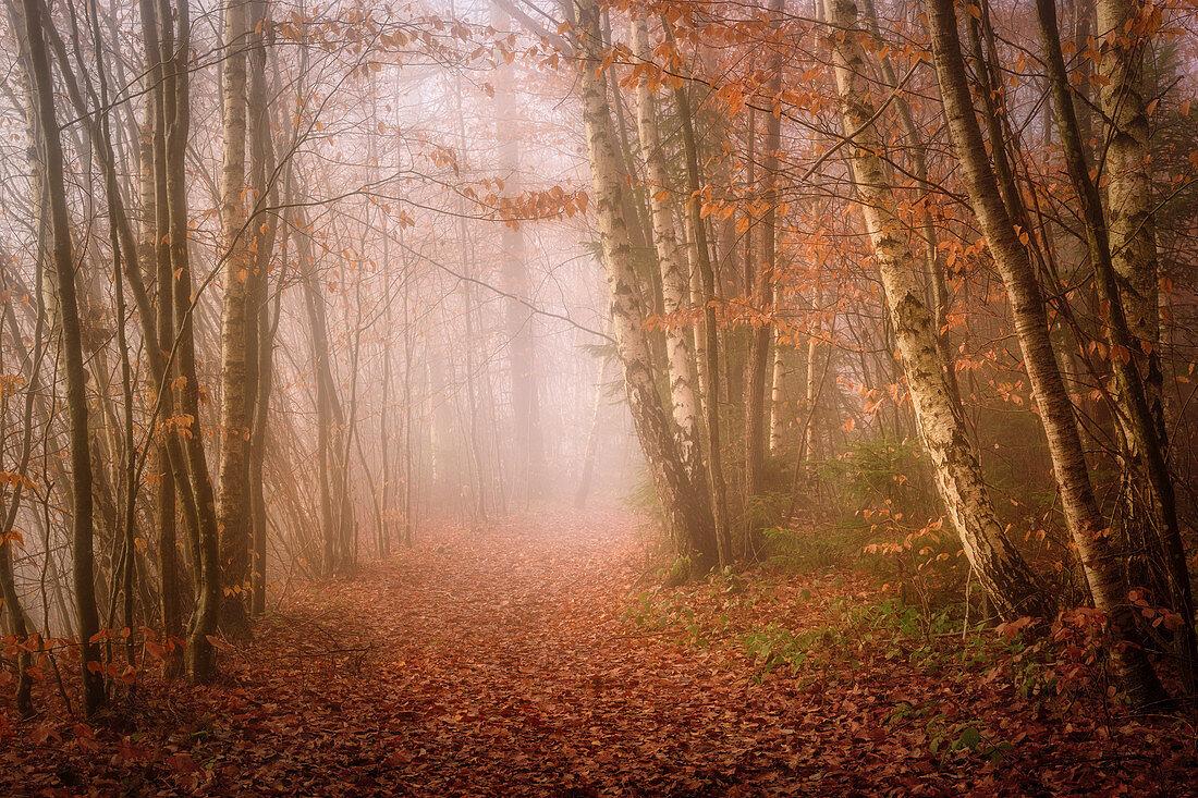 Nebelmorgen im Rotbuchenwald im November, Bayern, Deutschland