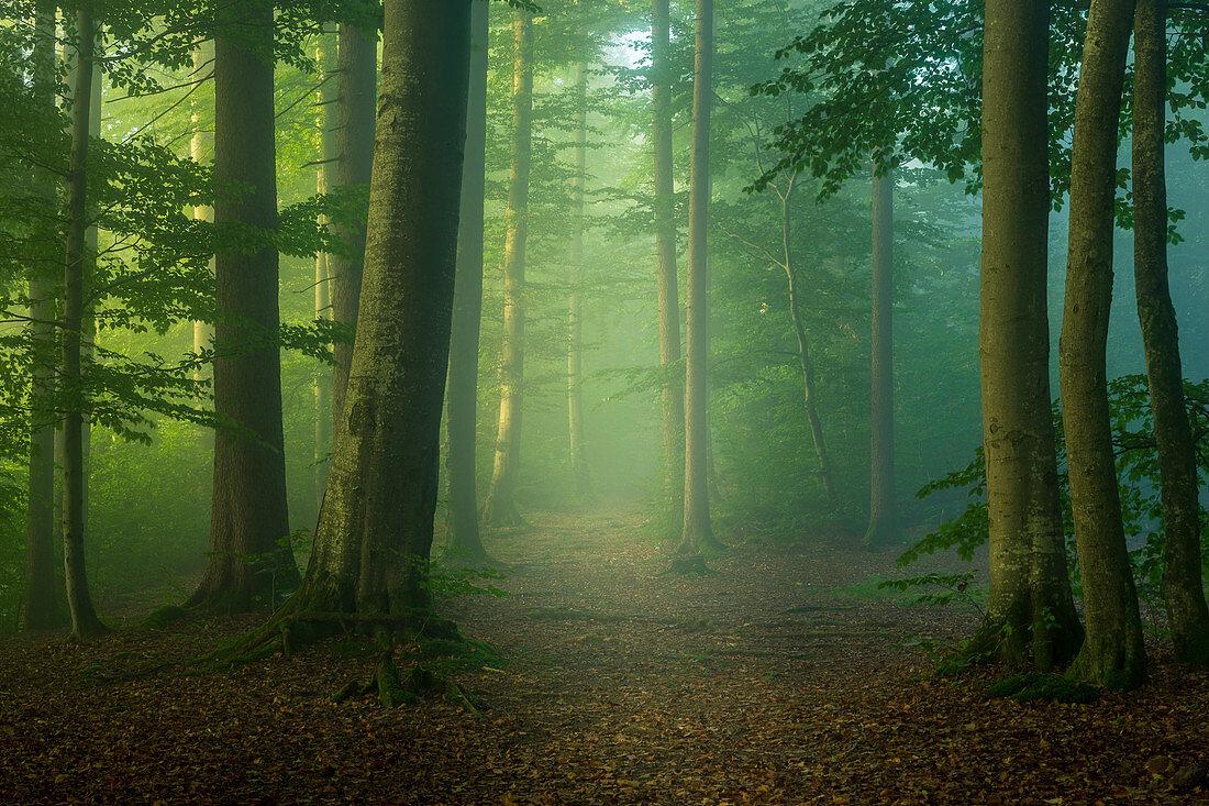 Frühlingsmorgen im Buchenwald südlich von München, Oberbayern, Bayern, Deutschland