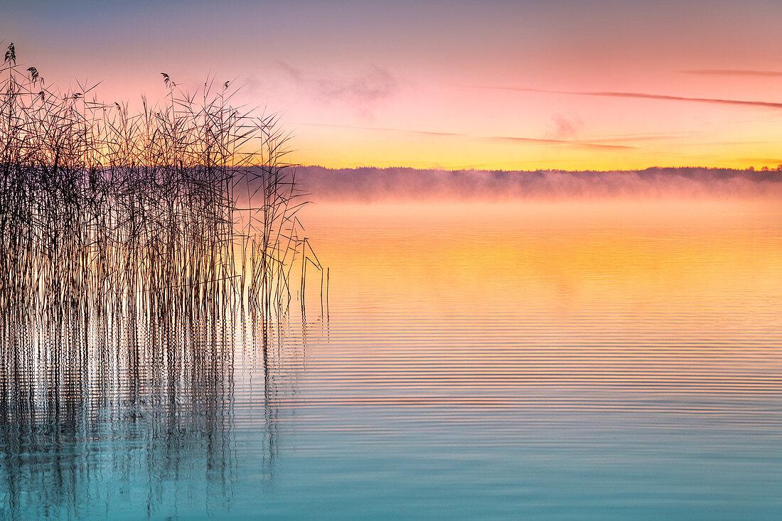 Schilf am Ufer im Morgenrot, Starnberger See am Morgen, Bayern, Deutschland