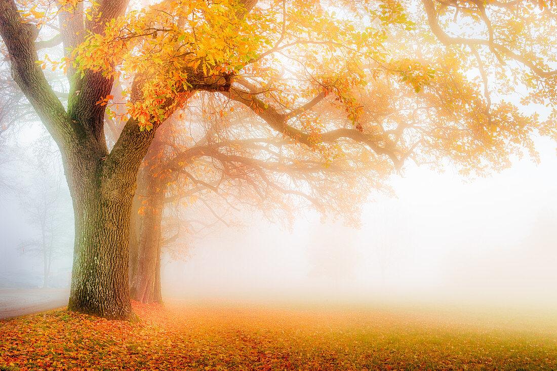 Eichenalle mit Herbstlaub bei Nebel, Bernried, Deutschland