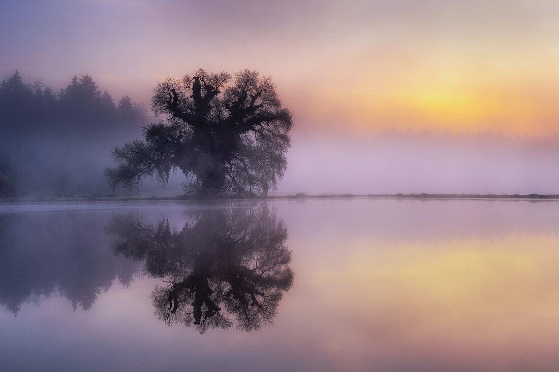 Reflecting tree in fog and sunrise, Bernried, Bavaria, Germany