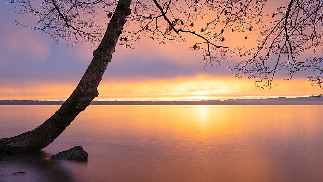 Tree on Lake Starnberg at sunrise, Tutzing, Bavaria, Germany