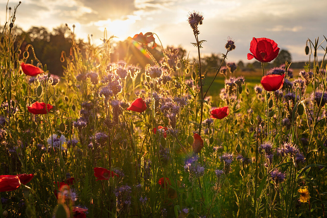 Opium poppies (Papaver somniferum) and other wild plants in backlight at sunset in Vagen, Bavaria, Germany