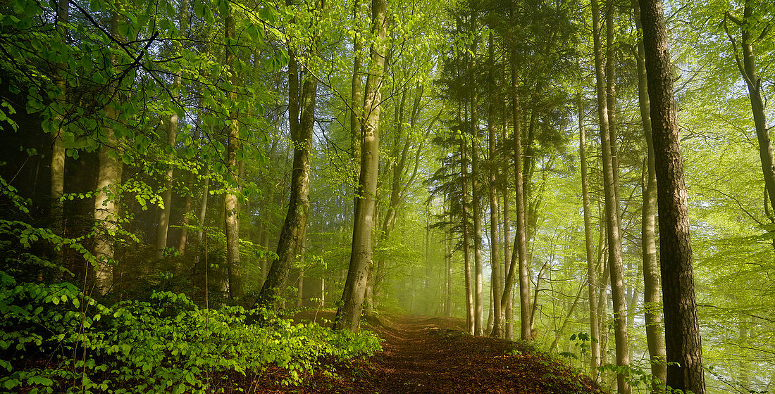 Sunny morning in a beech forest in spring south of Munich, Upper Bavaria, Bavaria, Germany, Europe