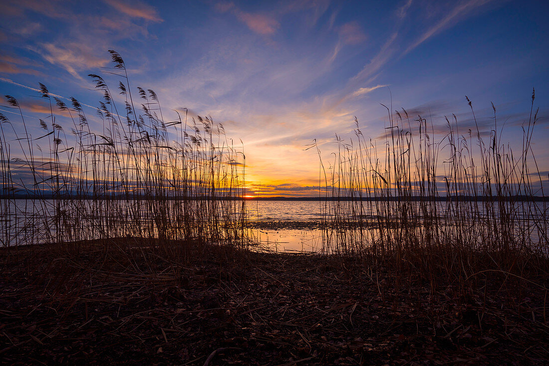 Reeds at sunset on Lake Starnberg, Bavaria, Germany, Europe
