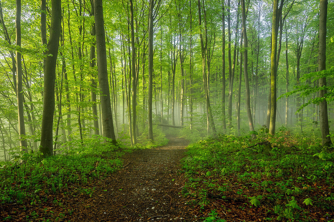 Sunny spring morning in the beech forest, Bavaria, Germany, Europe