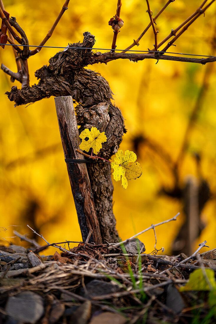 Vine on the Moselle, Winningen, Rhineland-Palatinate, Germany, Europe