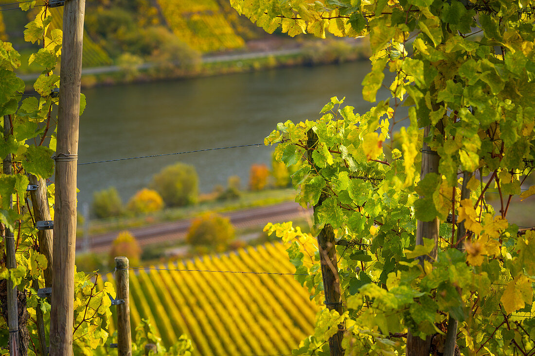 View through autumnal vine leaves on the Moselle, Winningen, Moselle Valley, Rhineland-Palatinate, Germany, Europe