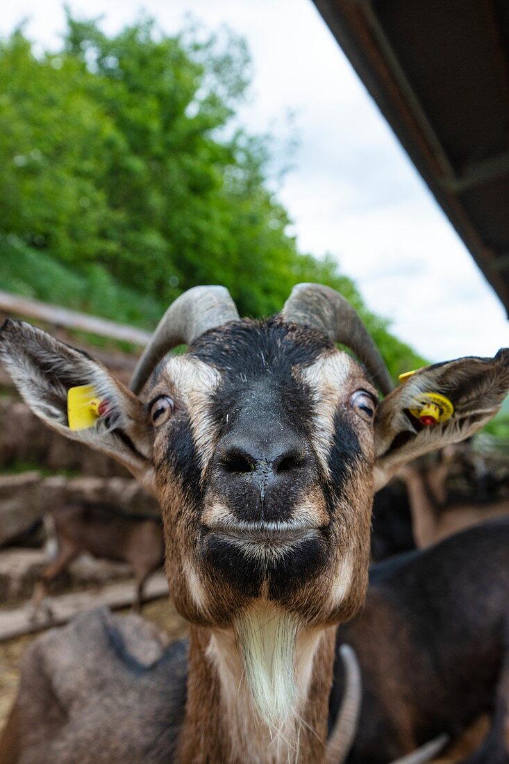 Frech blickende Ziege am ökologischen Bauernhof Der Berghof, Schöllkrippen, Kahlgrund, Spessart-Mainland, Franken, Bayern, Deutschland, Europa