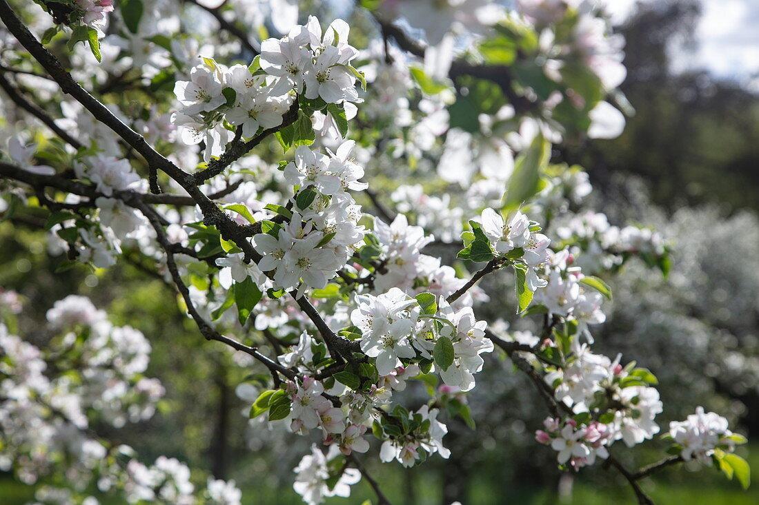 Apfelbaumblüten im Frühling, Mömbris Niedersteinbach, Kahlgrund, Spessart-Mainland, Franken, Bayern, Deutschland, Europa