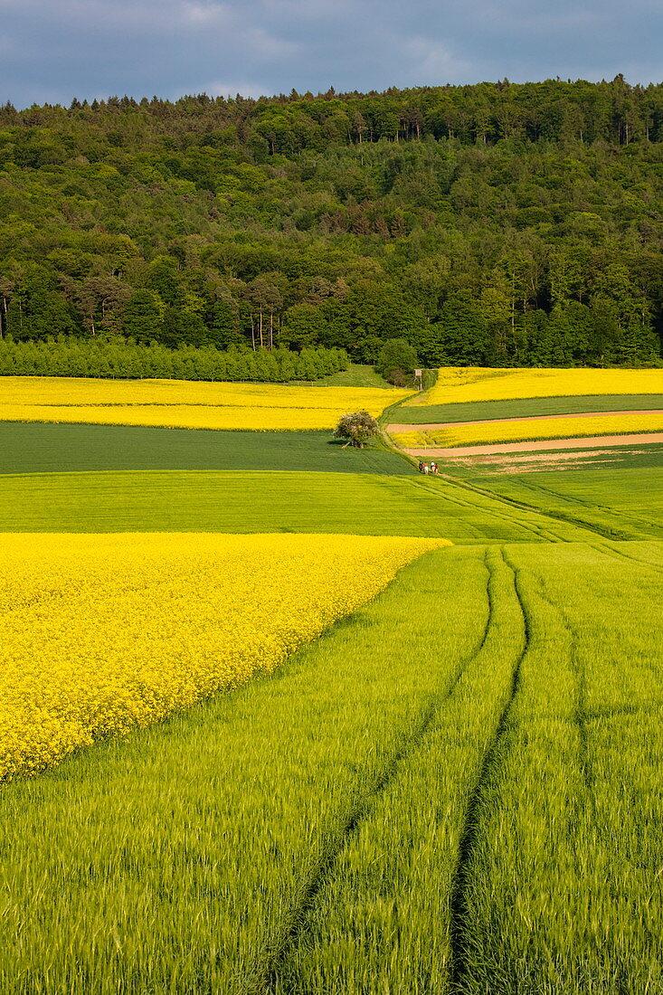 Traktorspuren neben blühendem Rapsfeld, nahe Röllbach, Spessart-Mainland, Franken, Bayern, Deutschland, Europa