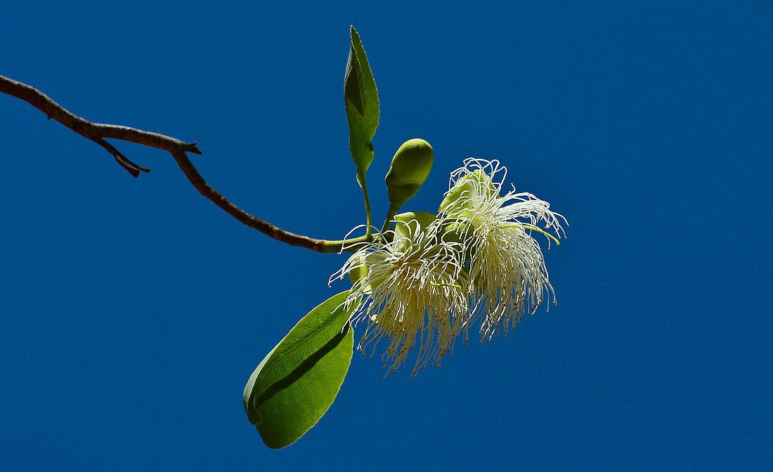 Tropical blossom against a deep blue sky, Cooinda, Kakadu National Park, Northern Territory, Australia