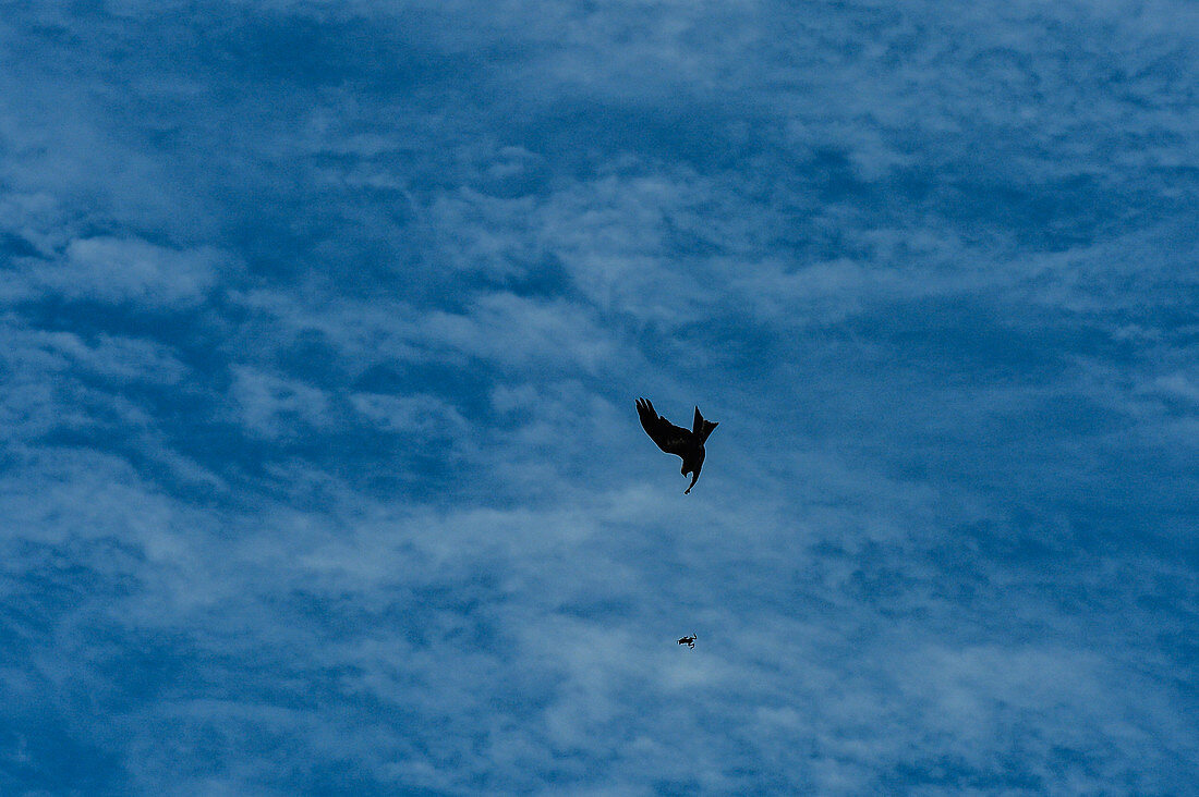 A kite loses a previously caught frog in mid-air, Darwin, Northern Territory, Australia