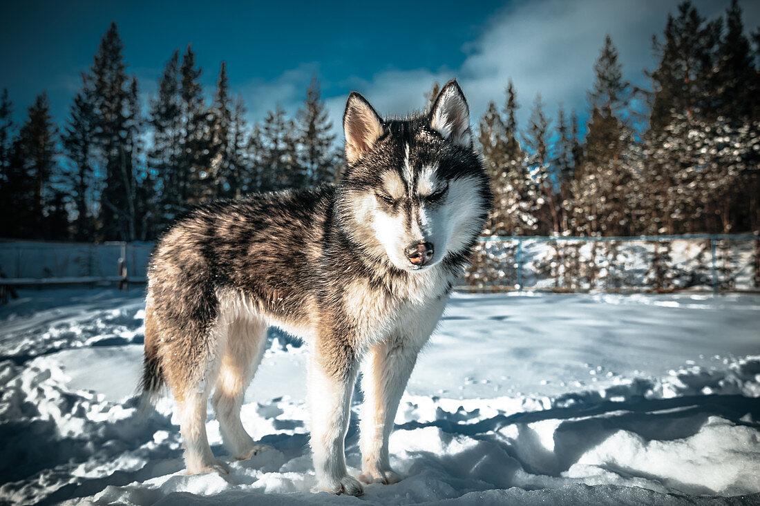 Siberian husky in the snow in Murmansk, Russia