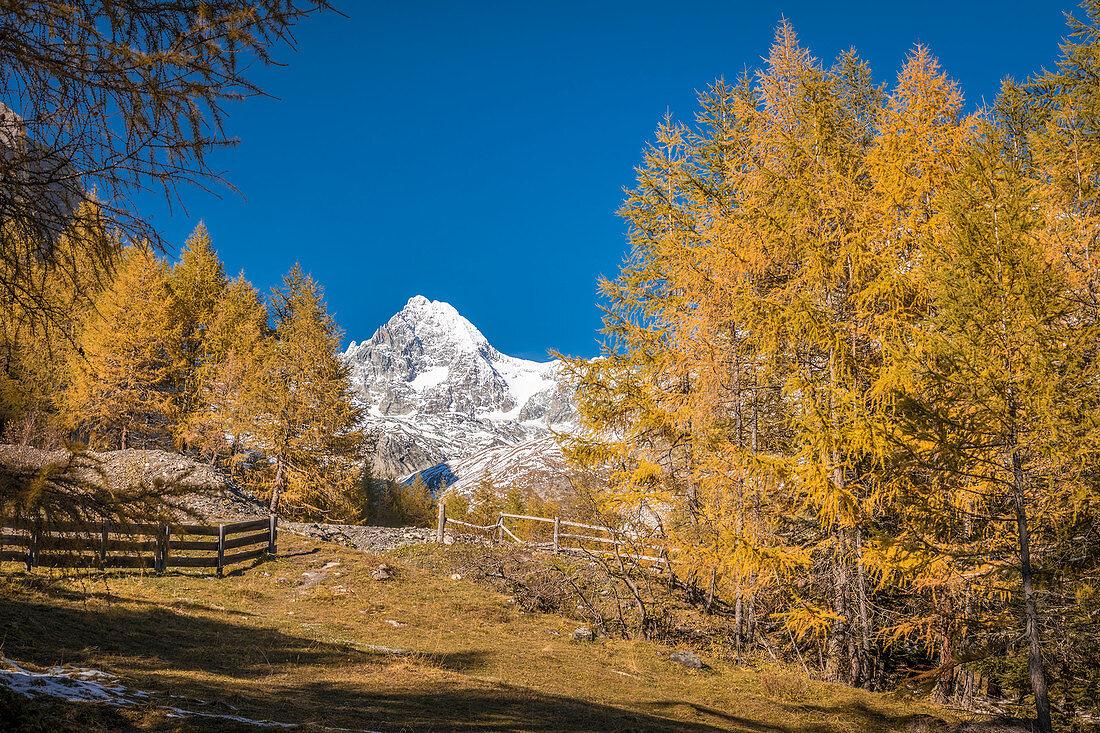 Autumn larch forest in Ködnitztal with Großglockner (3,798 m), Kals am Großglockner, East Tyrol, Tyrol, Austria