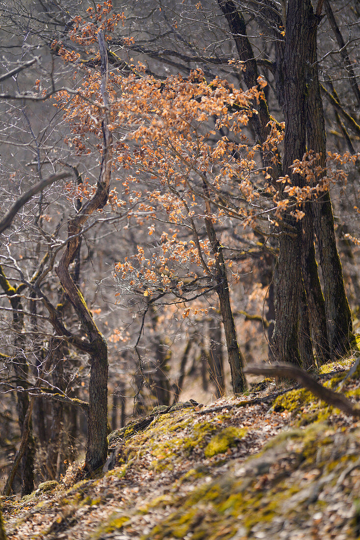 In the primeval hornbeam forest above the Ehrbachklamm in early spring, Rhineland-Palatinate, Germany, Europe